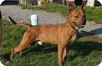 American Pit Bull Terrier Mix Dog for adoption in New Cumberland, West Virginia - Rocksford