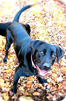 Labrador Retriever Mix Dog for adoption in Hastings, New York - Smoke