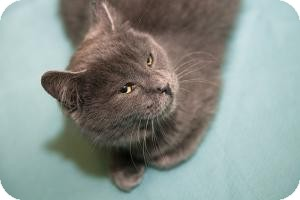 Domestic Shorthair Kitten for adoption in Brooklyn, New York - PATTY