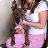 Adopt A Pet :: Bigelow - Scottsdale, AZ