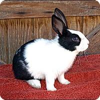 Adopt A Pet :: Pixel - Phoenix, AZ