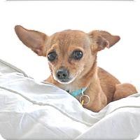 Adopt A Pet :: Piccolo - Chattanooga, TN