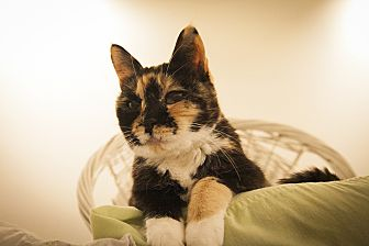 Domestic Shorthair Cat for adoption in Chicago, Illinois - Peaches