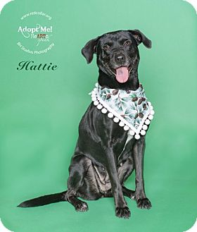 Labrador Retriever/Labrador Retriever Mix Dog for adoption in Houston, Texas - Hattie