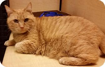 Domestic Shorthair Cat for adoption in North Haven, Connecticut - Montana