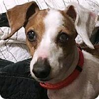 Adopt A Pet :: Dorrie Divot - Houston, TX