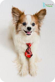 Papillon Dog for adoption in Kenner, Louisiana - Rene