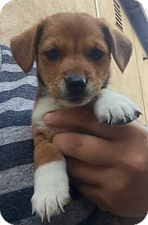 Beagle Mix Puppy for adoption in Long Beach, California - Evan