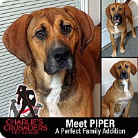 Adopt A Pet :: Piper - Spring City, PA