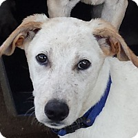Labrador Retriever Mix Puppy for adoption in Preston, Connecticut - Miller