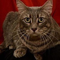 Adopt A Pet :: Ms Keane  the Mother Cat - Sanford, FL