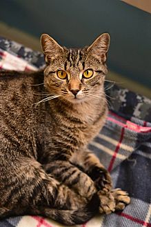 Colorpoint Shorthair Cat for adoption in Beacon, New York - Carol