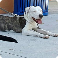 American Bulldog Mix Dog for adoption in Pompano beach, Florida - Bella