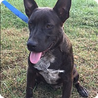 Cattle Dog Mix Dog for adoption in Pulaski, Tennessee - Vincent