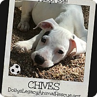 Adopt A Pet :: CHIVES - Lincoln, NE