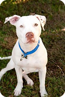 American Bulldog/American Bulldog Mix Dog for adoption in Stafford, Virginia - Saint Nicholas