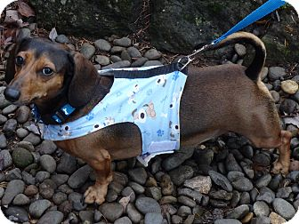 Dachshund Dog for adoption in Portland, Oregon - DEKE