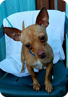 Chihuahua Puppy for adoption in Kansas City, Missouri - Chip