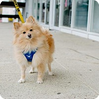 Adopt A Pet :: Tango ~ Blonde Bachelor! - Caldwell, NJ