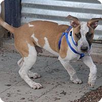 Adopt A Pet :: Dax - Phoenix, AZ