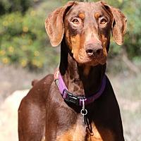 Adopt A Pet :: Roy - Fillmore, CA