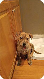 Retriever (Unknown Type)/Labrador Retriever Mix Puppy for adoption in LAKEWOOD, California - Bommer