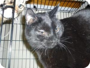 Domestic Shorthair Cat for adoption in Milwaukee, Wisconsin - Salem