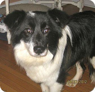 Border Collie/Sheltie, Shetland Sheepdog Mix Dog for adoption in ...