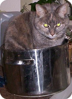 Calico Cat for adoption in Lake Arrowhead, California - Missy