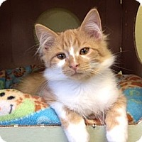 Adopt A Pet :: Oberon - Byron Center, MI
