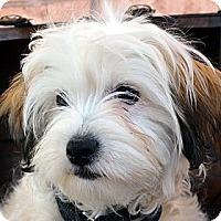Adopt A Pet :: Petey-Adoption pending - Bridgeton, MO
