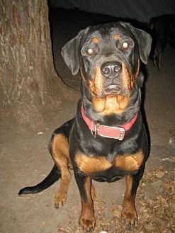 Rottweiler Dog for adoption in Laurel, Montana - Roxsey/referral