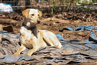 Labrador Retriever/Chihuahua Mix Dog for adoption in Wedowee, Alabama - Henry