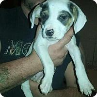 Adopt A Pet :: Shira - Broken Arrow, OK