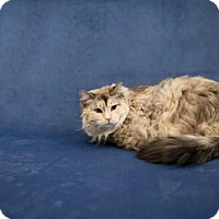 RagaMuffin Cat for adoption in Valley Falls, Kansas - Alice