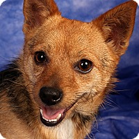 Adopt A Pet :: Snickers Yorkie Mix - St. Louis, MO