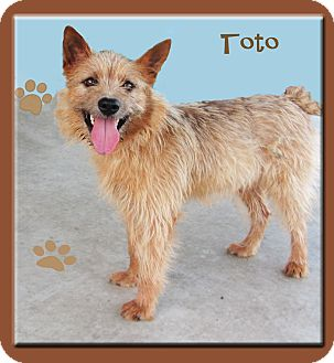 Norwich Terrier/Terrier (Unknown Type, Small) Mix Dog for adoption in Hillsboro, Texas - Toto