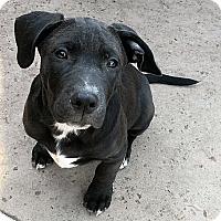 Adopt A Pet :: Teddy (in adoption process) - El Cajon, CA