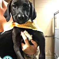 Adopt A Pet :: Jelly Belly - Kimberton, PA