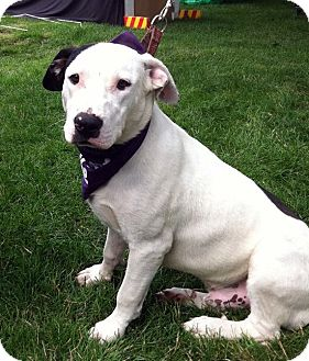 Terrier (Unknown Type, Medium)/Labrador Retriever Mix Dog for adoption in Detroit, Michigan - Teeka-Pending!