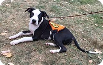 American Staffordshire Terrier Mix Puppy for adoption in Bronx, New York - Victoria