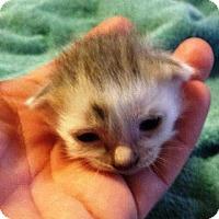 Adopt A Pet :: Athena - Putnam, CT