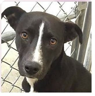 Pit Bull Terrier/Labrador Retriever Mix Dog for adoption in Springdale, Arkansas - Cherry