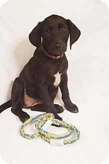 Labrador Retriever Mix Puppy for adoption in Newark, Delaware - Marsha (James/ Maryland-Delaware)