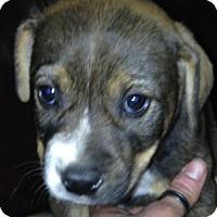 Adopt A Pet :: Mikey - Albany, NY