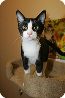 Domestic Shorthair Kitten for adoption in Capshaw, Alabama - Stick