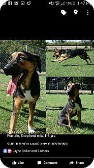 Shepherd (Unknown Type)/Hound (Unknown Type) Mix Dog for adoption in oklahoma city, Oklahoma - Jessie