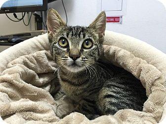 Domestic Shorthair Kitten for adoption in Oxnard, California - Ahina
