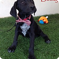 Labrador Retriever Mix Puppy for adoption in San Diego, California - Becky