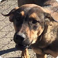 Rottweiler/Shepherd (Unknown Type) Mix Dog for adoption in Trenton, New Jersey - Frankie